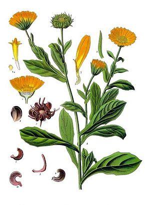 Calendula_officinalis_-_Köhler–s_Medizinal-Pflanzen-024