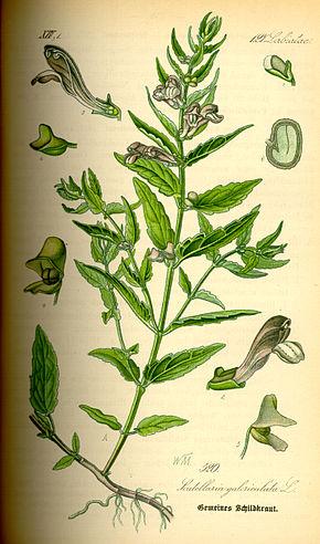 Illustration_Scutellaria_galericulata0