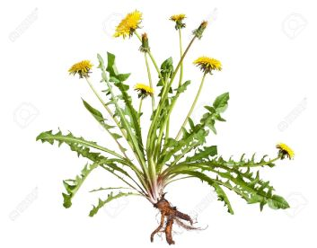 13336383-Dandelion-taraxacum-officinale-isolated-on-white-background-Stock-Photo
