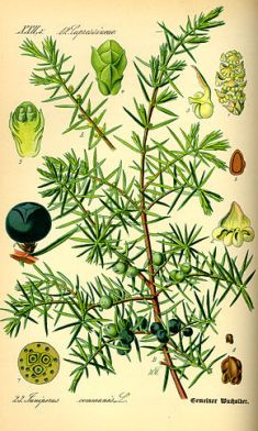 290px-illustration_juniperus_communis0