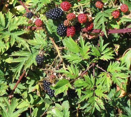http://www.wikiwand.com/en/Rubus_laciniatus