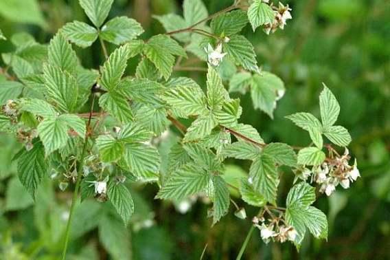 http://www.commanster.eu/commanster/Plants/Flowers/Rosaceae.html