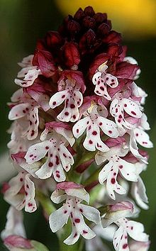 220px-orchis_ustulata_wiki_mg-k02