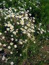 290px-leucanthemum_vulgare_2007-06-02_28plants29