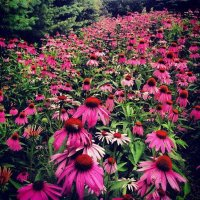 thumb_echinacea-kate-clearlight-1