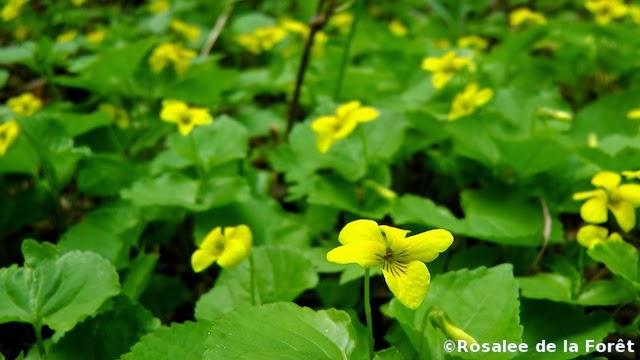 viola-glabella-herb