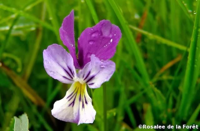 white-violet-herb-3