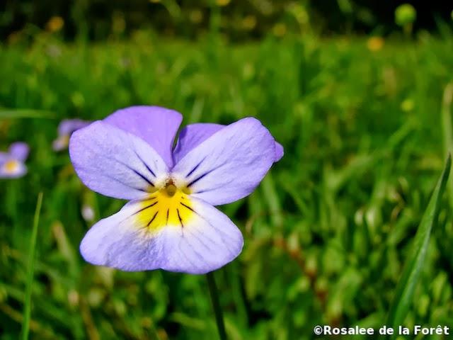 white-violet-herb-5