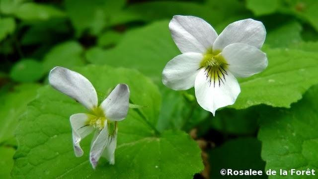 white-violet-herb