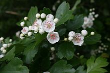 220px-crataegus-oxyacantha-flowers