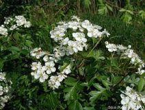 290px-crataegus-monogyna