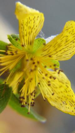 stjohswortflower