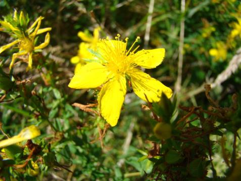 stjohswortflower21