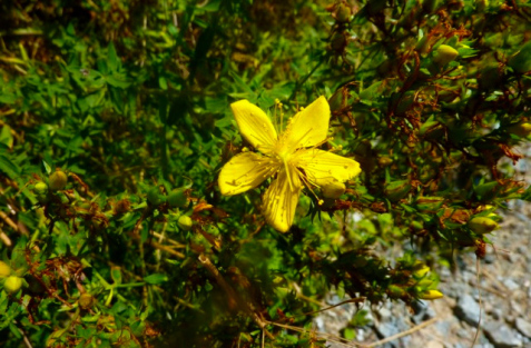 stjohswortflower32