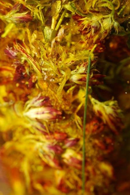 stjohswortflowerdried