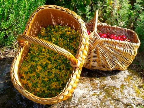 stjohswortflowerharvesting