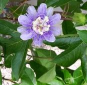 passiflora-incarnata-d