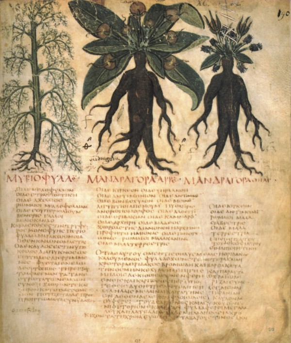 mandrake_naples_dioscurides-600x706